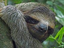 Closeup av en gullig sengångare arkivfoto