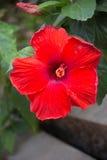 Closeup av en härlig röd hibiskusblomma fotografering för bildbyråer