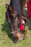Closeup av en häst som äter hö Arkivfoto