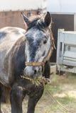 Closeup av en häst som äter hö Arkivbilder