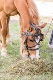 Closeup av en häst som äter hö Royaltyfri Foto