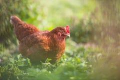 Closeup av en höna i en farmyard royaltyfri foto