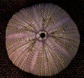 Closeup av en havsgatubarn Royaltyfri Fotografi
