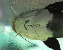 Closeup av en havskatt underifrån Royaltyfri Foto