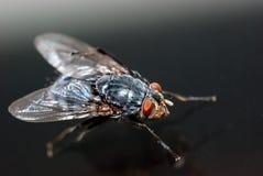 Closeup av en Housefly Arkivbild