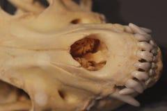 Closeup av en hund- skallenos Arkivbilder