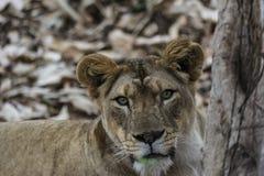 Closeup av en ilsken lejoninna - intensiva ögon fotografering för bildbyråer