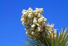 Closeup av en Joshua Tree Bloom Royaltyfria Foton