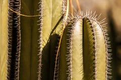 Closeup av en kaktus Arkivfoton