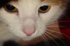 Closeup av en katt Arkivbilder
