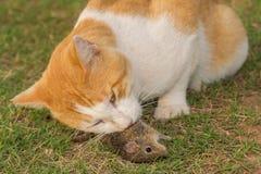 Closeup av en katt som äter en mus Arkivbilder