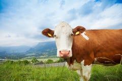 Closeup av en ko Arkivfoton