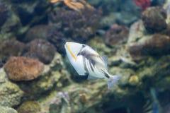 Closeup av en lagunTriggerfish i akvariummiljö royaltyfria foton