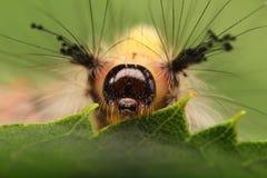Closeup av en larva arkivfoton