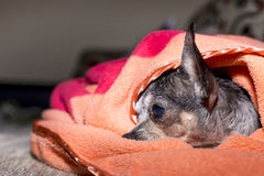 Closeup av en ledsen chihuahuahund under filten Fotografering för Bildbyråer