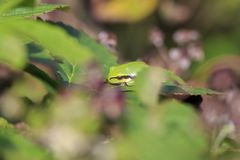 Closeup av en liten europeisk arborea eller Rana arbo för Hyla för trädgroda Royaltyfri Fotografi