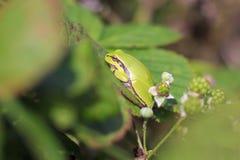 Closeup av en liten europeisk arborea eller Rana arbo för Hyla för trädgroda Arkivfoto
