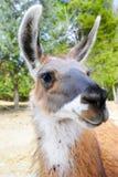Closeup av en Llama Royaltyfri Fotografi