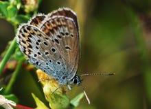 Closeup av en Lycaeides idas Royaltyfria Bilder