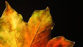 Closeup av en mångfärgade Autumn Leaf mot en svart bakgrund royaltyfri fotografi