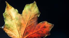 Closeup av en mångfärgade Autumn Leaf mot en svart bakgrund arkivfoto