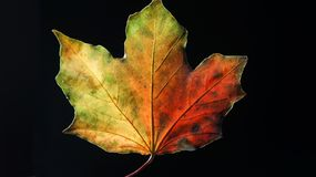Closeup av en mångfärgade Autumn Leaf mot en svart bakgrund arkivbild
