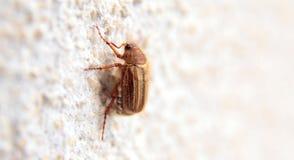 Closeup av en maybug på en vägg Royaltyfri Fotografi