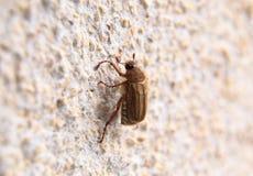 Closeup av en maybug på en vägg Royaltyfria Bilder