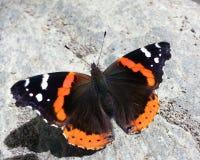 Closeup av en monark arkivfoto