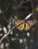 Closeup av en monarkfjäril Arkivfoto