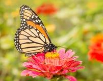 Closeup av en monarkfjäril royaltyfria bilder