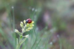 Closeup av en nyckelpiga på en blomma royaltyfri fotografi
