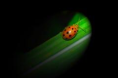 Closeup av en nyckelpiga som är på grönt gräs royaltyfria bilder