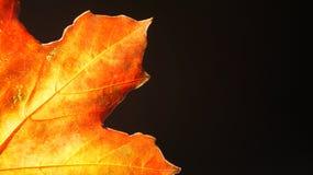 Closeup av en orange Autumn Leaf mot en svart bakgrund royaltyfri bild