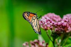Closeup av en orange och svart monarkfjäril på en rosa milkw arkivbild