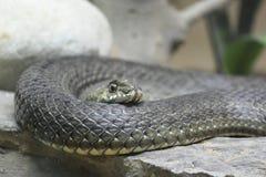 Closeup av en orm royaltyfria bilder