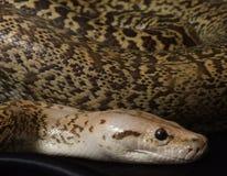 Closeup av en orm för granitBermese pytonorm arkivfoto