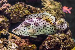 Closeup av en panterhavsaborre som är vit med den tropiska fisken för svart spotter, exotiskt husdjur från detStillahavs- havet arkivfoto