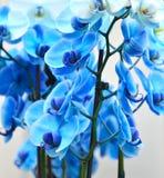 Closeup av en Phalaenopsisblomma Royaltyfri Bild