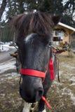 Closeup av en ponny Royaltyfria Bilder