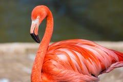 Closeup av en röd flamingo med oskarp bakgrund Arkivbild