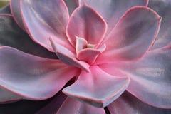 Closeup av en röd och lila suckulent blomma låter vara petals Begreppet av en blomsterhandel royaltyfria bilder