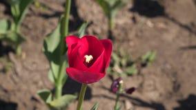 Closeup av en röd tulpan arkivfilmer