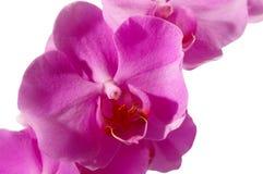 Closeup av en rosa phalaenopsis Arkivbild