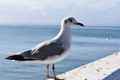 Closeup av en seagull i den Mossel fjärden, Sydafrika Fotografering för Bildbyråer