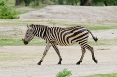 Closeup av en sebra för Burchell ` s i Tanzania Royaltyfria Bilder