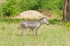 Closeup av en sebra för Burchell ` s i Tanzania Arkivbild