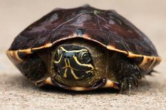 Closeup av en sköldpadda Arkivfoto
