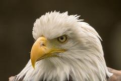 Closeup av en skallig örn fotografering för bildbyråer