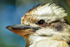 Closeup av en skrattfågel Royaltyfri Bild